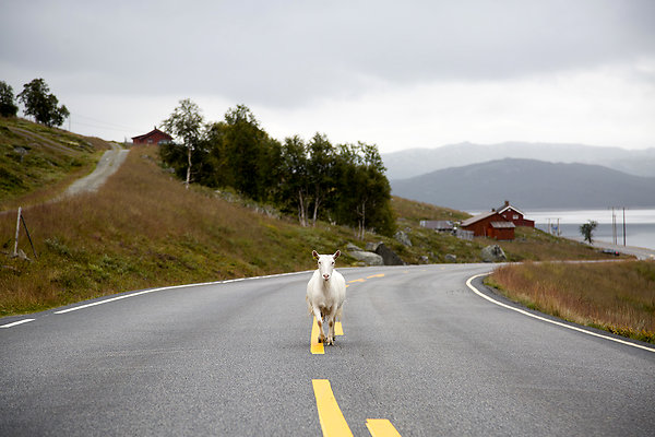 goat in the middle of the road