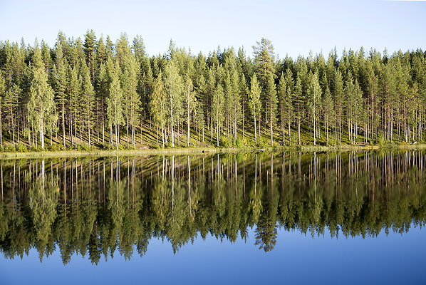 swedish tree reflection