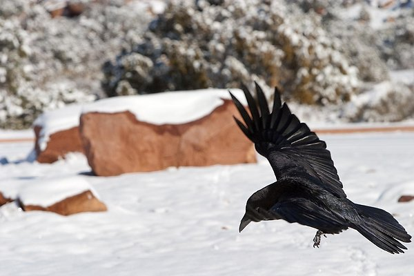 black crow on white snow